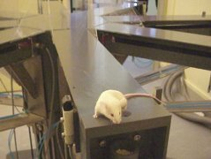 mouse in radial arm maze